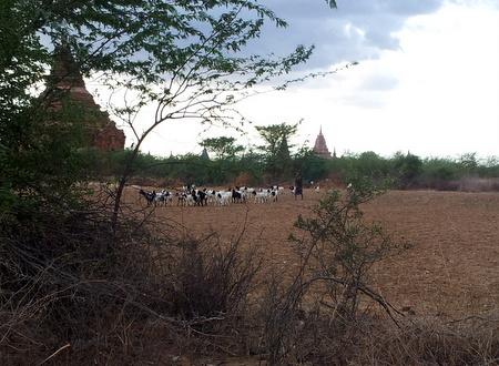 Dyreflokk i Bagan