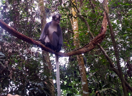 Sumatran Leaf monkey