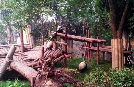 Pandaer i Pandasenteret i Chengdu