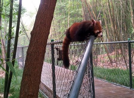 Rød panda slapper av på et gjerde.
