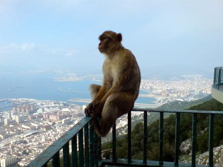Ape i Gibraltar