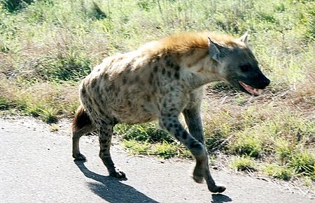 løve som spiser hyene