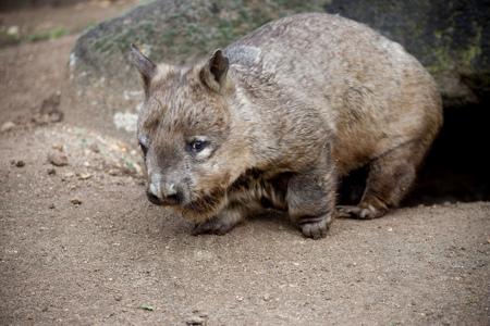 Wombat i Melbourne Zoo