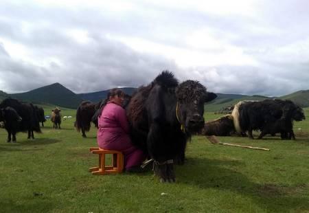 Melking i Mongolia